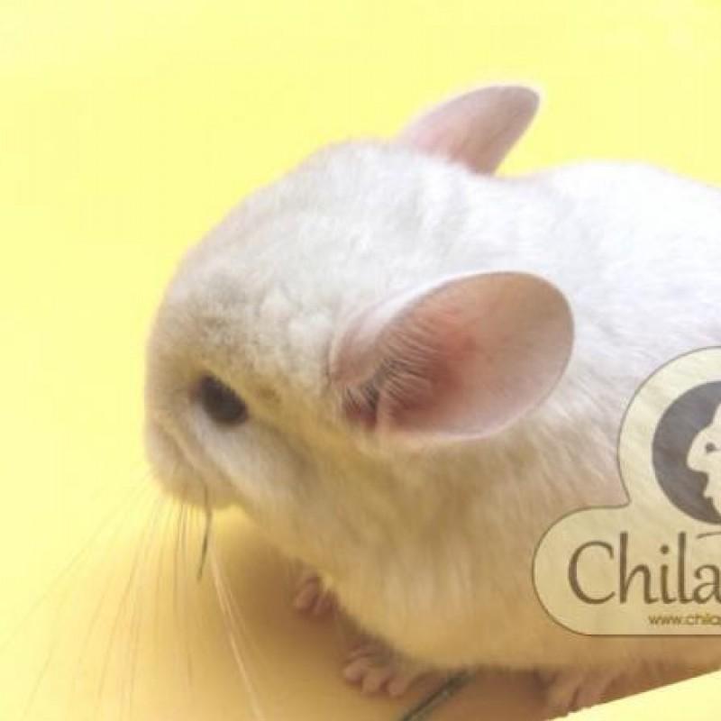 Chinchila Marfim Fêmea