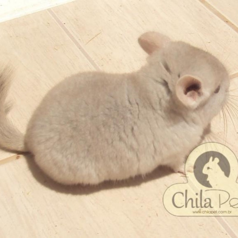 Chinchila Bege Fêmea