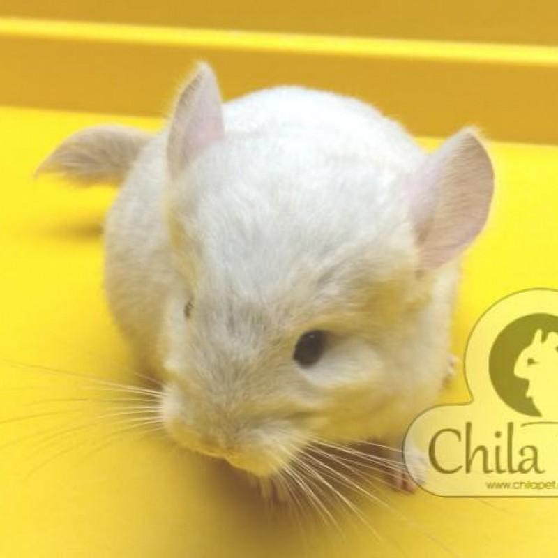 Chinchila Marfim Macho